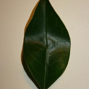 Photographie n°50585 du taxon Ligustrum vulgare L. [1753]