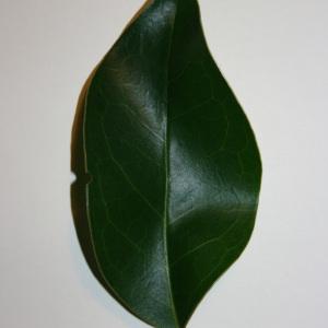 Photographie n°50586 du taxon Ligustrum vulgare L. [1753]