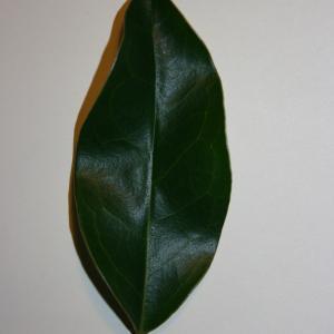 Photographie n°50587 du taxon Ligustrum vulgare L. [1753]