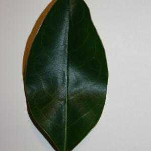 Photographie n°50588 du taxon Ligustrum vulgare L. [1753]