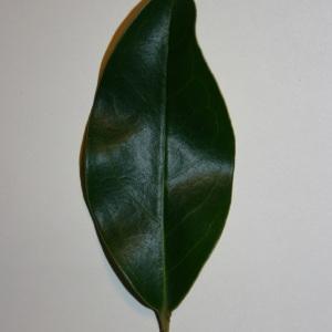 Photographie n°50590 du taxon Ligustrum vulgare L. [1753]