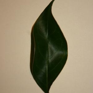 Photographie n°50591 du taxon Ligustrum vulgare L. [1753]