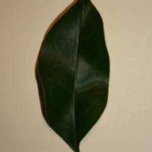 Photographie n°50592 du taxon Ligustrum vulgare L. [1753]