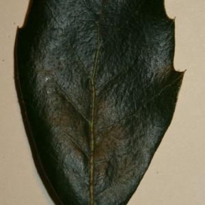 Photographie n°50673 du taxon Quercus ilex L. [1753]