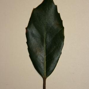 Photographie n°50674 du taxon Quercus ilex L. [1753]