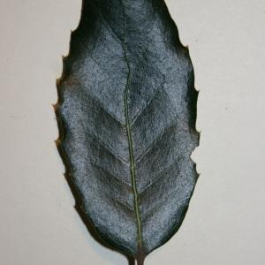 Photographie n°50675 du taxon Quercus ilex L. [1753]