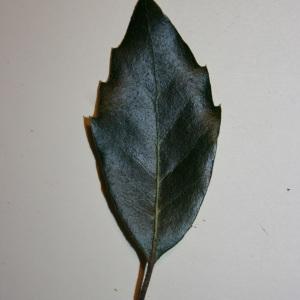 Photographie n°50676 du taxon Quercus ilex L. [1753]
