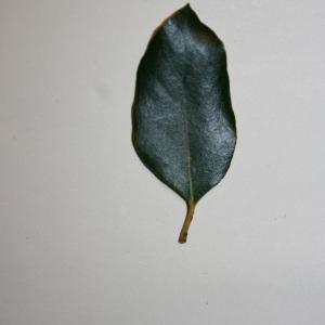 Photographie n°50677 du taxon Quercus ilex L. [1753]