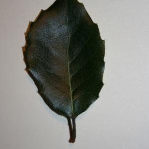 Photographie n°50678 du taxon Quercus ilex L. [1753]