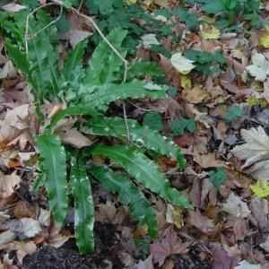 Photographie n°50715 du taxon Asplenium scolopendrium L.