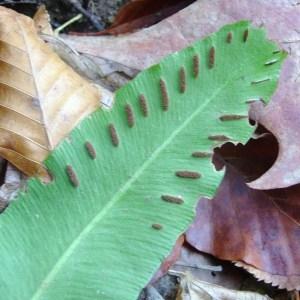 Photographie n°50716 du taxon Asplenium scolopendrium L.