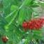 Genevieve Botti - Sorbus aucuparia L.