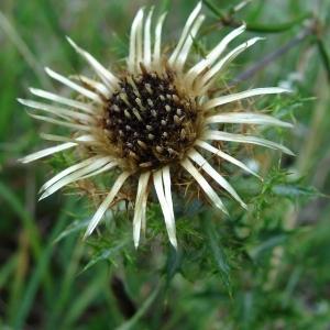 Photographie n°50758 du taxon Carlina vulgaris L.