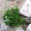Jean-Luc Gorremans - Alchemilla alpina L.