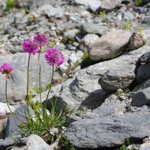 Photographie n°50811 du taxon Armeria alpina Willd. [1809]