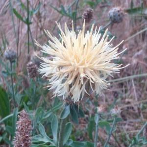 Photographie n°50850 du taxon Centaurea collina L. [1753]