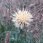 Genevieve Botti - Centaurea collina L. [1753]