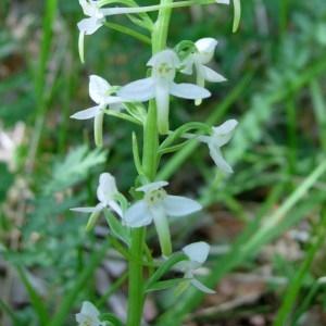 Photographie n°50858 du taxon Platanthera bifolia (L.) Rich.