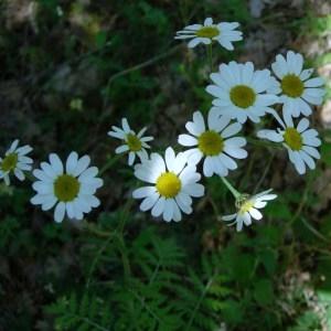 Photographie n°50864 du taxon Chrysanthemum corymbosum L. [1753]