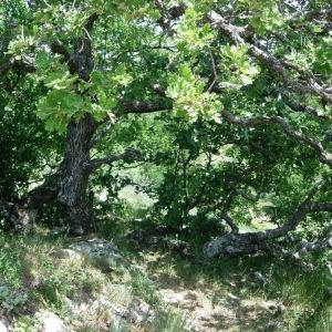 Photographie n°50880 du taxon Quercus pubescens Willd. [1805]