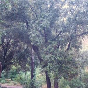 Photographie n°50898 du taxon Quercus ilex L. [1753]