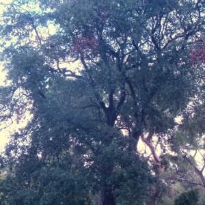 Photographie n°50900 du taxon Quercus ilex L. [1753]