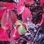 Genevieve Botti - Parthenocissus quinquefolia (L.) Planch. [1887]