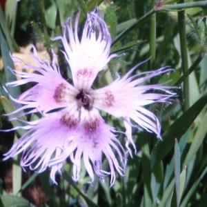 Photographie n°50920 du taxon Dianthus superbus L.