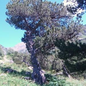 Photographie n°50924 du taxon Pinus uncinata Ramond ex DC. [1805]