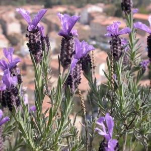 Photographie n°50982 du taxon Lavandula stoechas