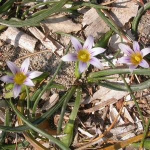 Photographie n°50991 du taxon Romulea columnae subsp. columnae