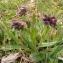 Catherine MAHYEUX - Pulmonaria longifolia (Bastard) Boreau