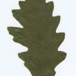 Photographie n°51033 du taxon Quercus cerris L. [1753]