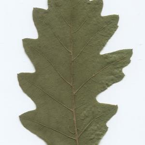 Photographie n°51034 du taxon Quercus cerris L. [1753]