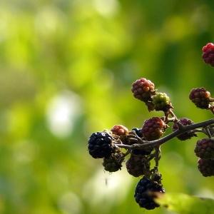 Rubus fruticosus L. (Ronce commune)
