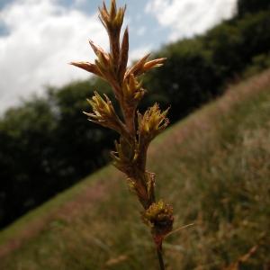 Photographie n°51175 du taxon Carex pseudobrizoides Clavaud