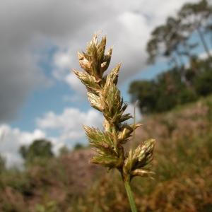 Photographie n°51178 du taxon Carex pseudobrizoides Clavaud