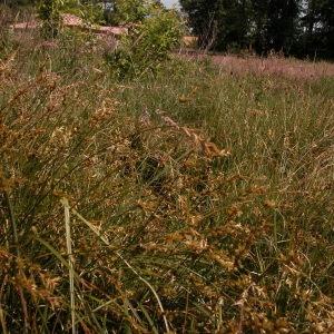 Photographie n°51180 du taxon Carex pseudobrizoides Clavaud