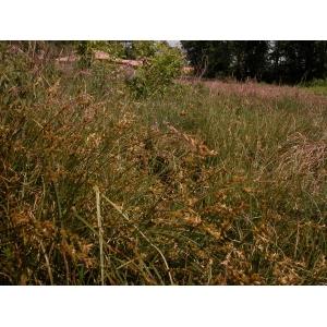 Carex brizoides proles clavaudiana Rouy (Laiche de Reichenbach)