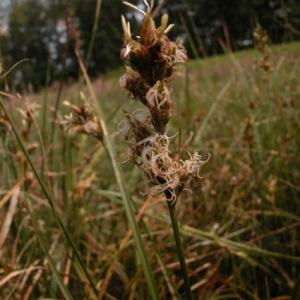 Photographie n°51181 du taxon Carex pseudobrizoides Clavaud