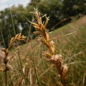 Photographie n°51182 du taxon Carex pseudobrizoides Clavaud