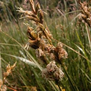 Photographie n°51184 du taxon Carex pseudobrizoides Clavaud