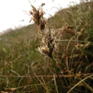 Photographie n°51185 du taxon Carex pseudobrizoides Clavaud