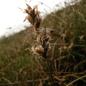 Photographie n°51186 du taxon Carex pseudobrizoides Clavaud