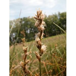 Carex reichenbachii Bonnet (Laiche de Reichenbach)
