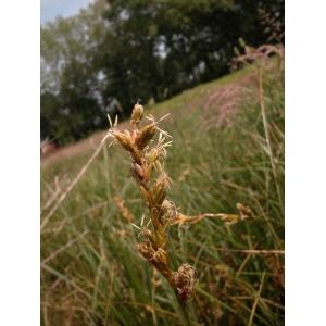 Carex ohmuelleriana sensu Coss. & Germ. (Laiche de Reichenbach)