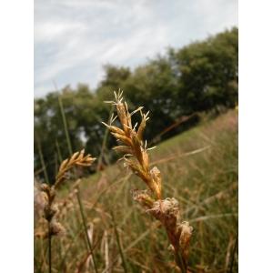 Carex pseudobrizoides Clavaud (Laiche de Reichenbach)