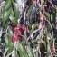Genevieve Botti - Elaeagnus angustifolia L. [1753]