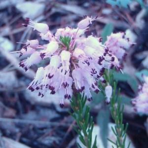 Photographie n°51235 du taxon Erica multiflora L.