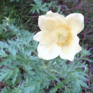 Photographie n°51277 du taxon Pulsatilla alpina subsp. apiifolia (Scop.) Nyman